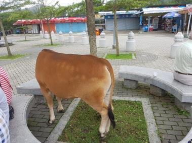A random cow.